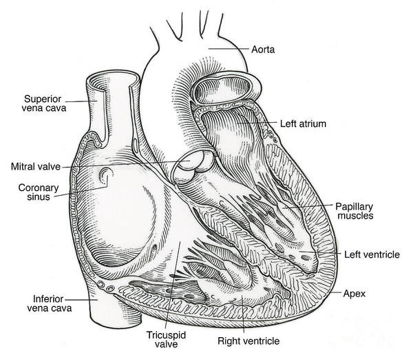 Superior Vena Cava Photograph - Illustration Of Heart Anatomy by Science Source