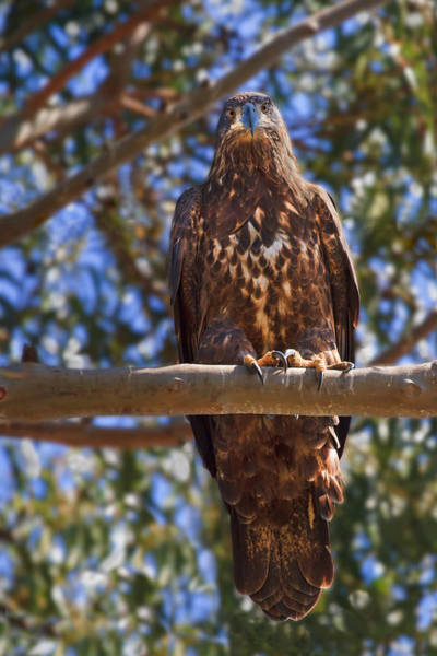 Photograph - Immature Bald Eagle by Beth Sargent
