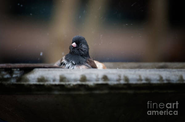 Wall Art - Digital Art - Junco In The Birdbath by Carol Ailles
