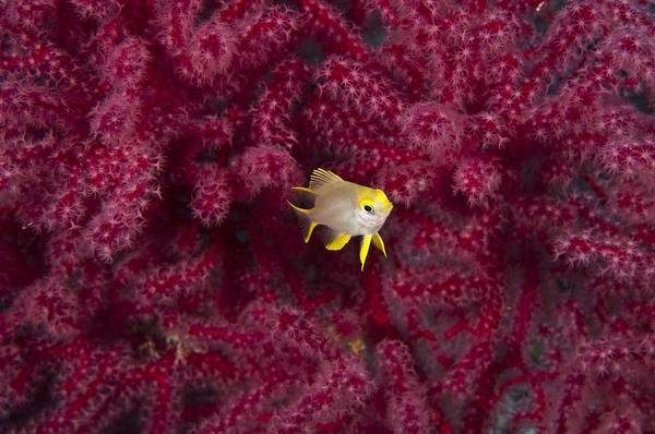 Pomacentridae Photograph - Juvenile Golden Damselfish by Matthew Oldfield