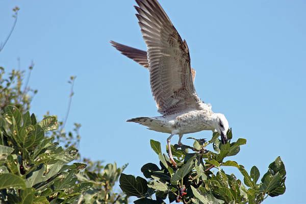 Photograph - Juvenile Herring Gull by Tony Murtagh