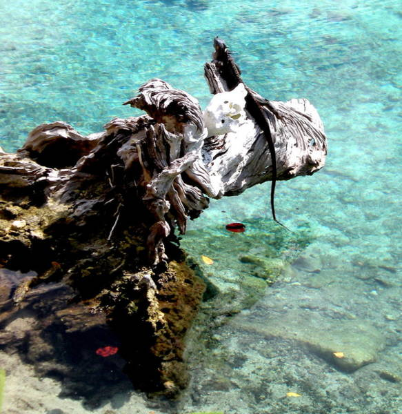 Photograph - King Of The Blue Lagoon by Danielle  Parent