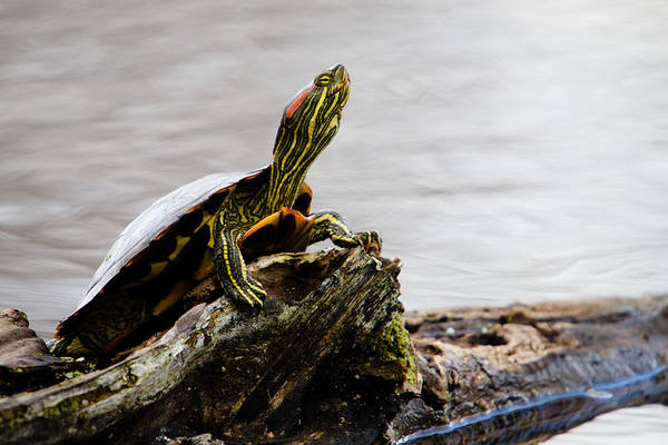 Photograph - King Of The Log by Jason Smith