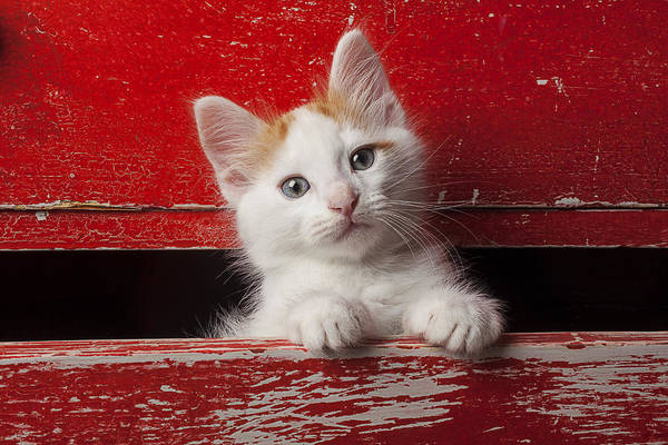 Tan Cat Wall Art - Photograph - Kitten In Red Drawer by Garry Gay