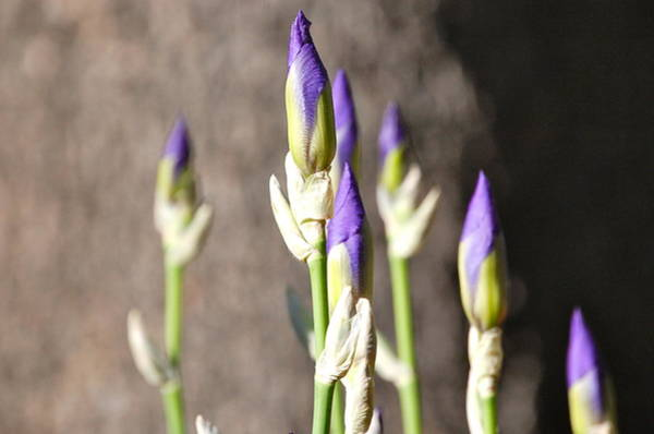 Photograph - Lavender Iris Buds by Mary McAvoy