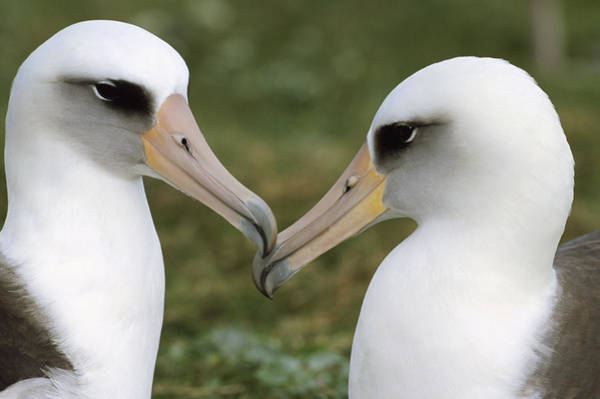 Photograph - Laysan Albatross Phoebastria by Tui De Roy