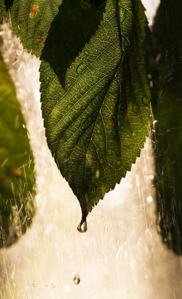Photograph - Leaf In The Rain by Odon Czintos