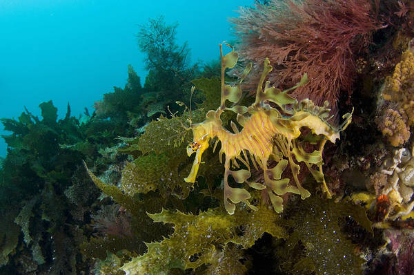 Seadragon Photograph - Leafy Sea Dragon by Matthew Oldfield