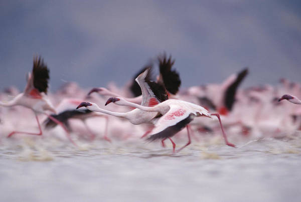 Photograph - Lesser Flamingo Flock Taking Flight by Tim Fitzharris