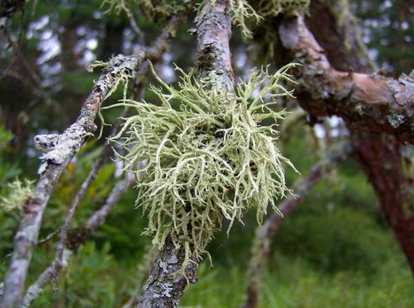 Mixed Media - Lichen On Spruce by Bruce Ritchie