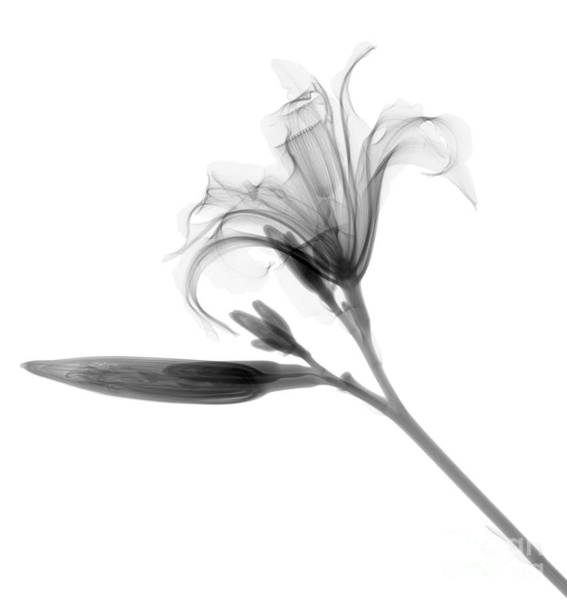 Radiograph Wall Art - Photograph - Lilly by Ted Kinsman