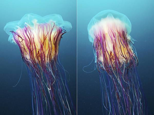 Lion's Mane Jellyfish Photograph - Lion's Mane Jellyfish, Japan by Alexander Semenov