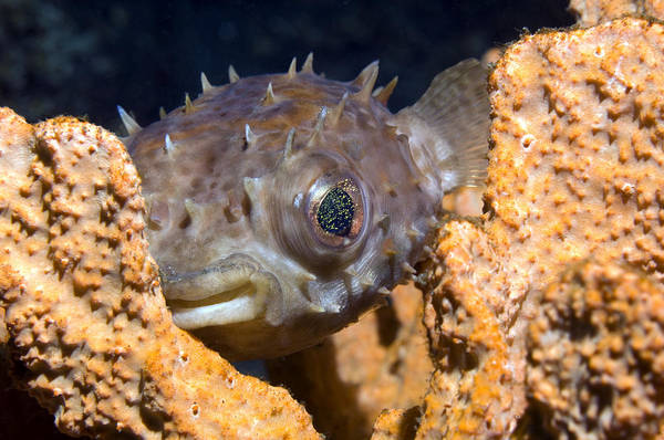 Diodon Photograph - Long-spine Porcupinefish by Georgette Douwma