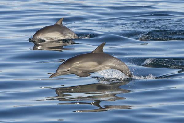 Photograph - Longbeaked Common Dolphins Porpoising by Suzi Eszterhas