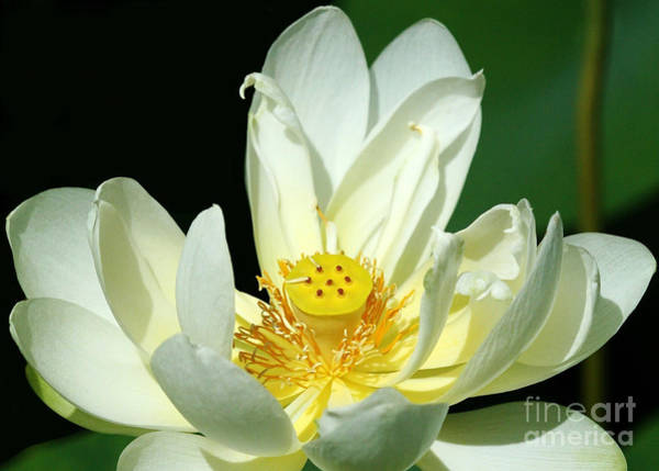 Photograph - Lotus Blooming by Sabrina L Ryan