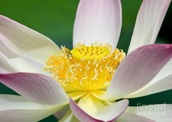 Photograph - Lotus Up Close by Sabrina L Ryan