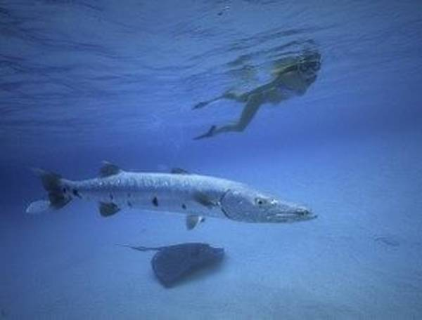 Photograph - Lovely Lady Barracuda And Southern Stingray by Don Kreuter