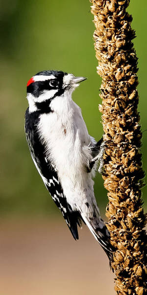 Photograph - Male Downy Woodpecker  by Albert Seger