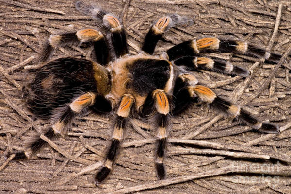 Photograph - Mexican Red-legged Tarantula by Dante Fenolio