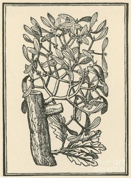 Photograph - Mistletoe-alchemy Plant by Science Source