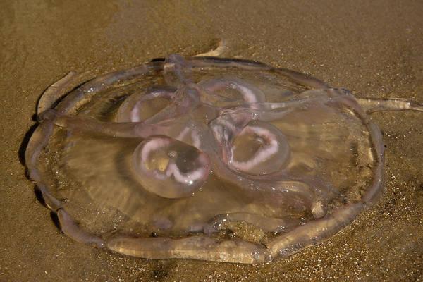 Moon Jellyfish Photograph - Moon Jellyfish by Betsy Knapp