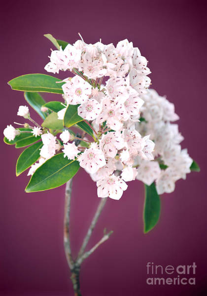 Laurel Wall Art - Photograph - Mountain Laurel by HD Connelly
