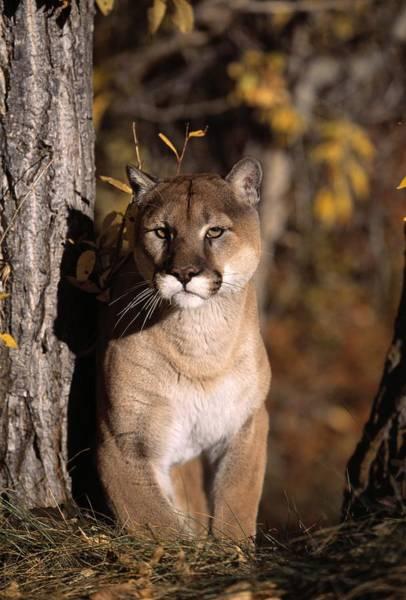 Catamount Photograph - Mountain Lion by Natural Selection David Ponton