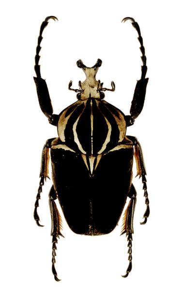 Goliath Photograph - Mounted Goliath Beetle by Mauro Fermariello