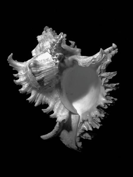 Photograph - Murex Ramosus Seashell by Frank Wilson