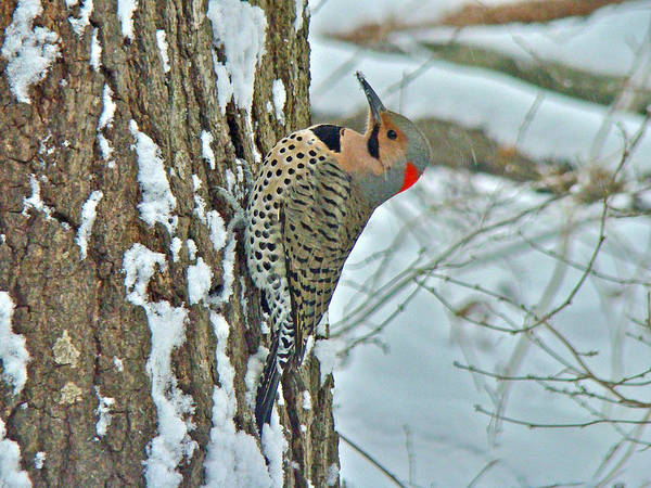 Northern Flicker Photograph - Northern Yellow Shafted Flicker - Colaptes Auratus by Mother Nature