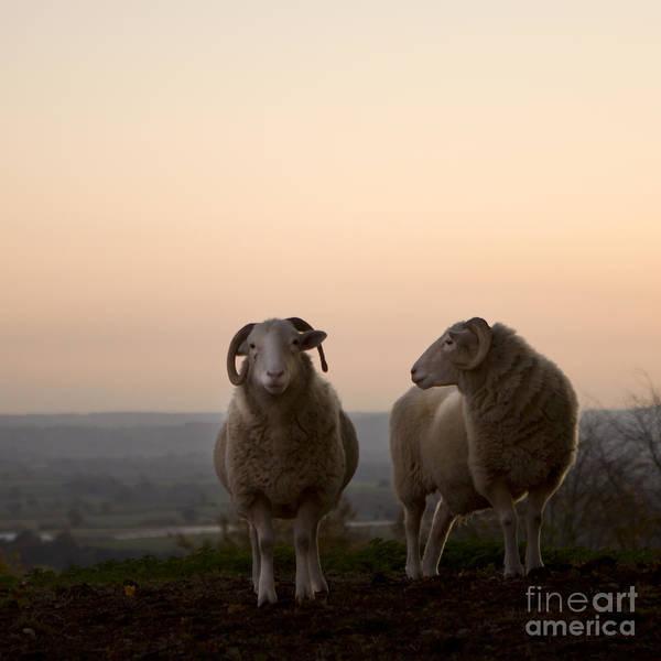Sheep Photograph - On The Hill by Angel Ciesniarska