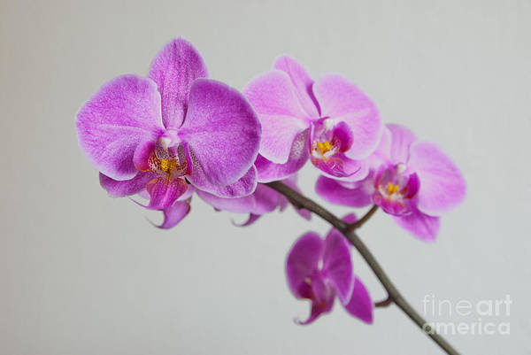 Photograph - Orchid  by Hannes Cmarits