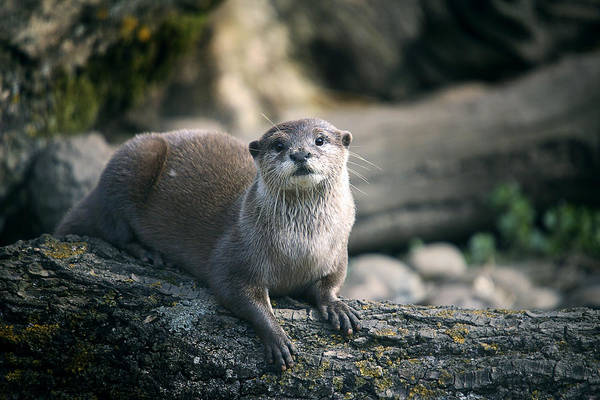 Aonyx Photograph - Oriental Small-clawed Otter by Linda Wright
