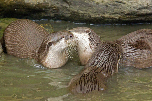 Aonyx Photograph - Otterology 5 Of 12 by Stephen Barrie