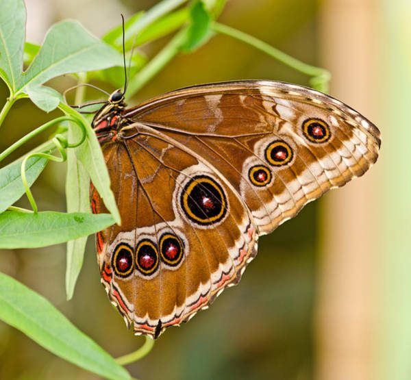 Flutterby Wall Art - Photograph - Owl Eye Butterfly by Chris Thaxter