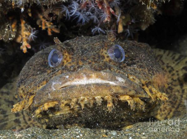 Ugliness Photograph - Oyster Toadfish, Atlantic Ocean by Karen Doody