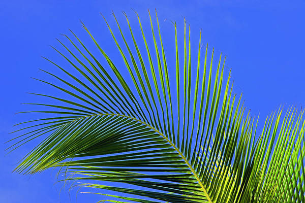 Wall Art - Photograph - Palm Tree Branch- St Lucia by Chester Williams