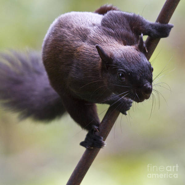 Photograph - Panamanian Tree Squirrel by Heiko Koehrer-Wagner