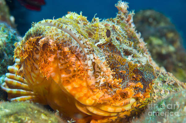 Kimbe Bay Wall Art - Photograph - Papuan Scorpionfish Lying On A Reef by Steve Jones