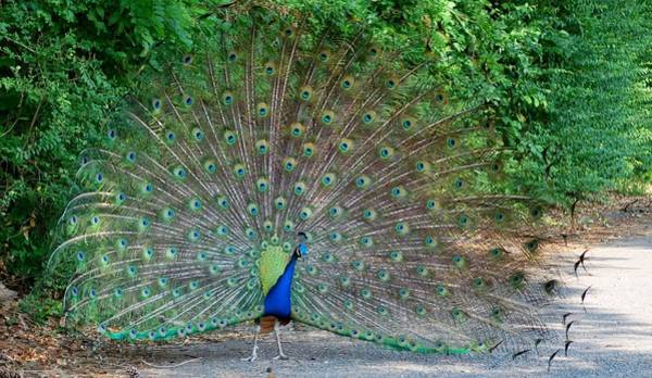Photograph - Peacock by Bill Hosford