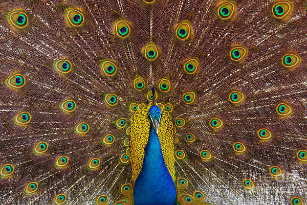 Courtship Photograph - Peacock by Carlos Caetano