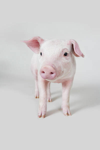 Livestock Photograph - Piglet, Studio Shot by Paul Hudson