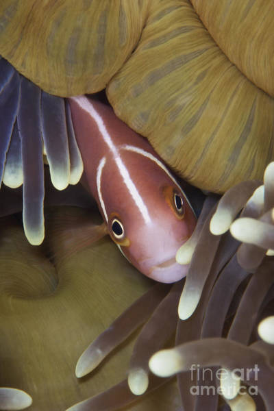 Pomacentridae Photograph - Pink Skunk Clownfish In Its Host by Terry Moore