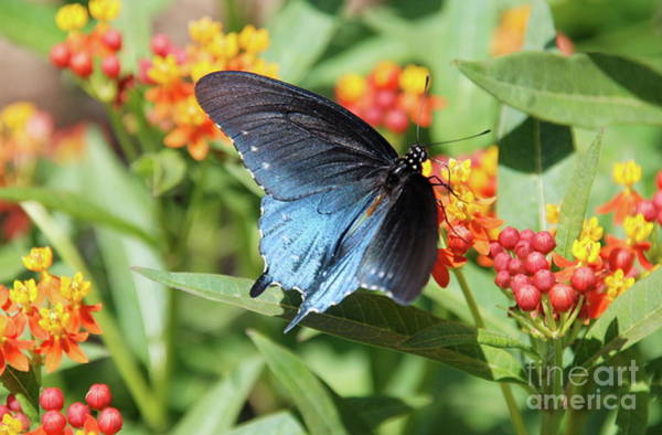 Photograph - Pipevine Swallowtail  by Ken Williams