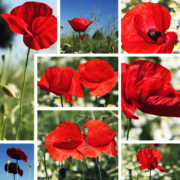 Wall Art - Photograph - Poppies Collage by Falko Follert