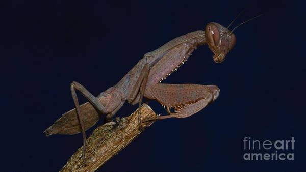 Photograph - Praying Mantis by Mareko Marciniak