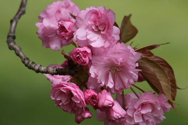 Wall Art - Photograph - Precious Cherry Blossom by Valia Bradshaw