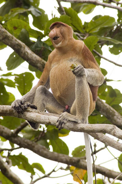 Nasalis Photograph - Proboscis Monkey by Matthew Oldfield