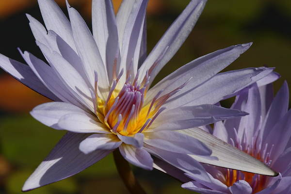 Photograph - Purple Lotus by Pam  Holdsworth