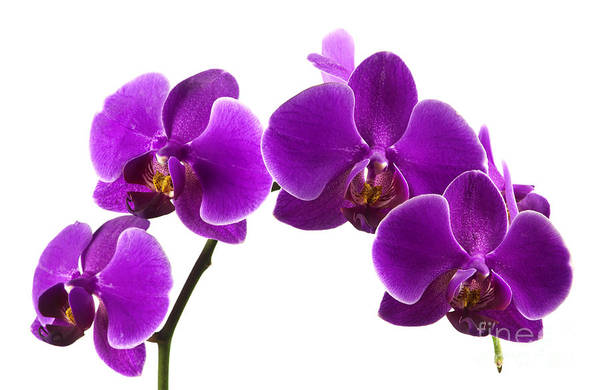 Wall Art - Photograph - Purple Orchids by Blink Images